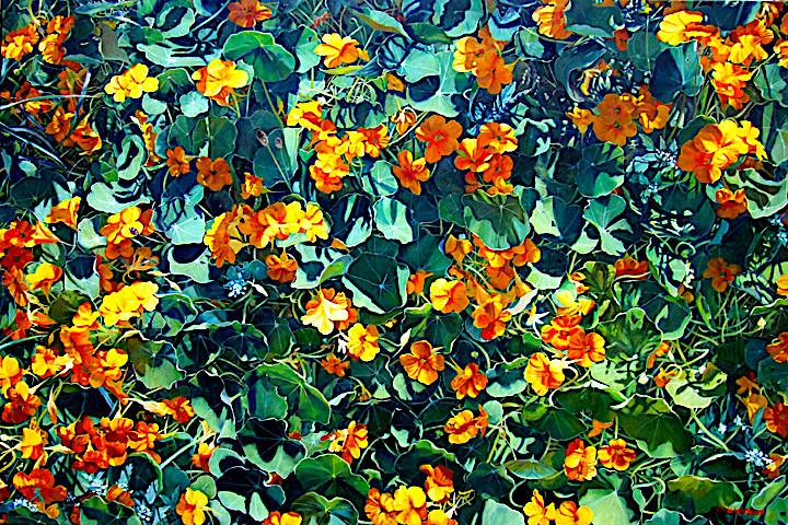 Chris Whittaker 'Lock-down Nasturtiums' oil on canvas 100 x 150cm unframed